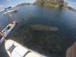 Manatee at kings Bay