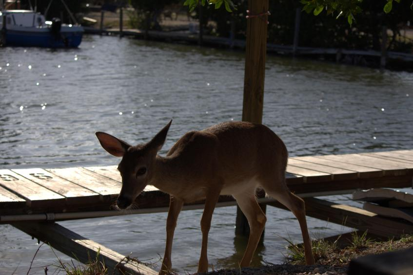 Key Deer at big pines fishing lodge