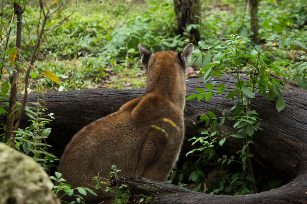 Florida panther at Ellie Schiller Homosassa Springs Wildlife State Park