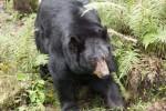 florida black bear Ellie Schiller Homosassa Springs Wildlife State Park