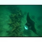 Manta Ray Feeding at Dania Jacks by Jennifer