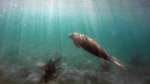Manatee swimming at Phil Foster snorkeling trail