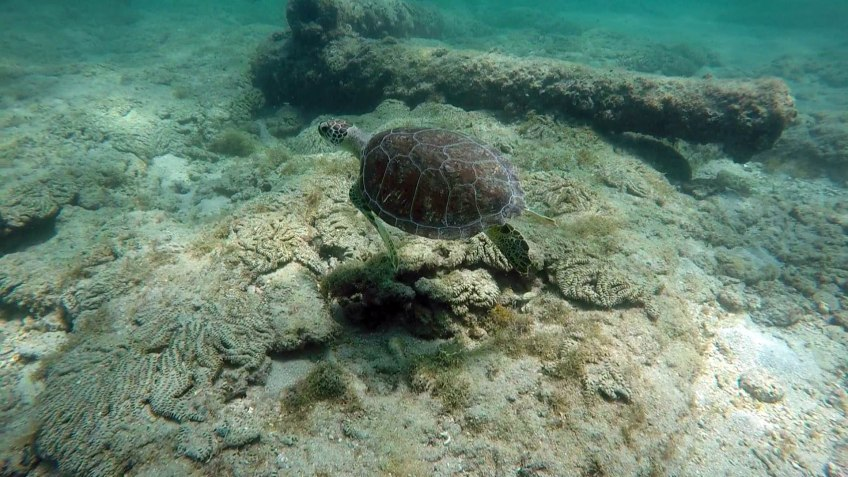 Green Turtle at Lauderdale by the sea