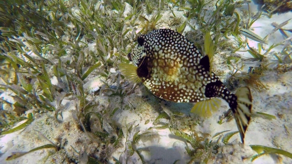 spotted trunkfish at alligator reef