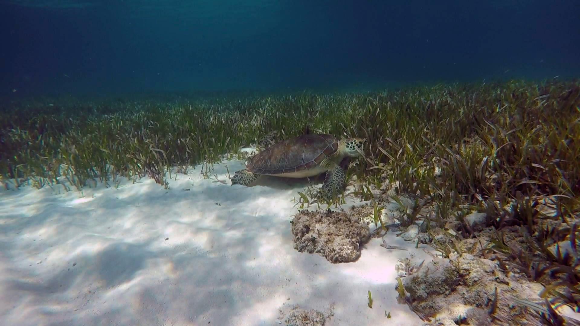 Green turtle alligator reef