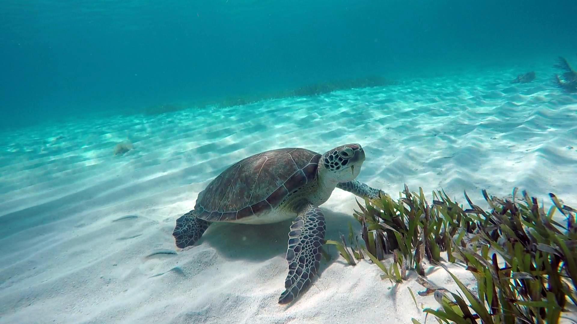 turtle at alligator reef